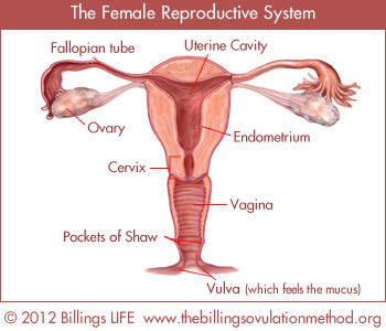 The Female Reproductive System: Copyright Billings LIFE