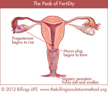 The Peak Of Fertility Ovulation Is Very Close The Egg Will Soon Be Released From Its Follicle Then It Will Be Swept Up Into The Fallopian